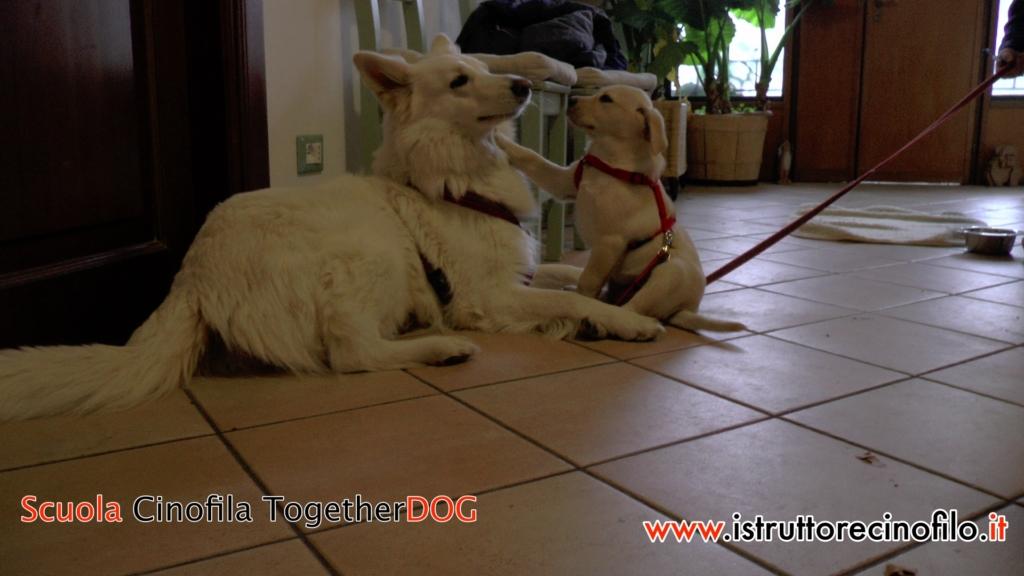 Sharon Cane Insegnante- Clio cucciola labrador - Corso Educatore Cinofilo Comportamentale Togetherdog