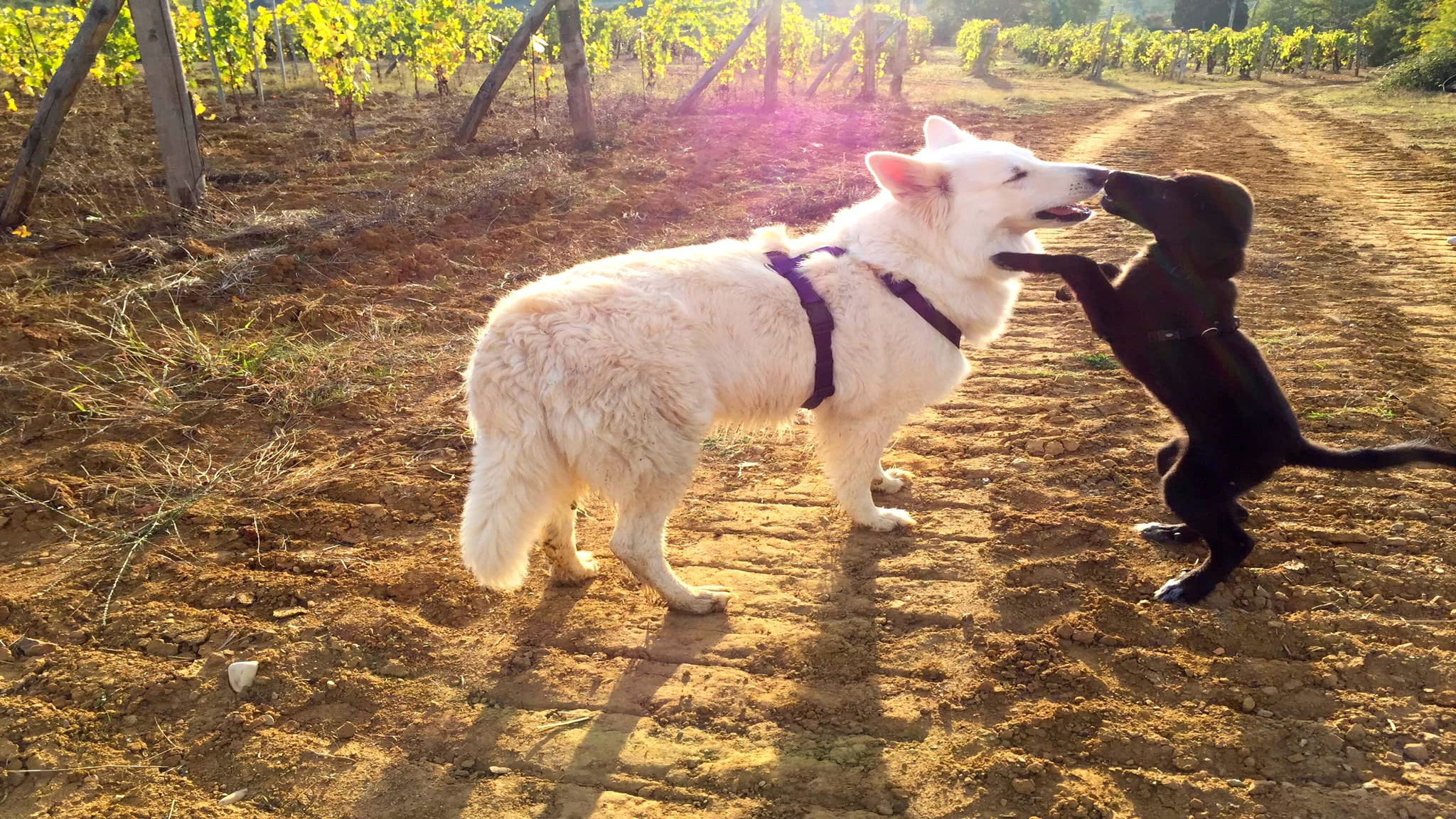Dicono di Sharon Cane Insegnantecon cani cuccioli